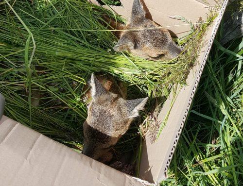 Mähtod verhindern: Jäger arbeiten mit Landwirten zusammen